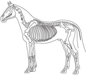 Horse-Skeleton2x386